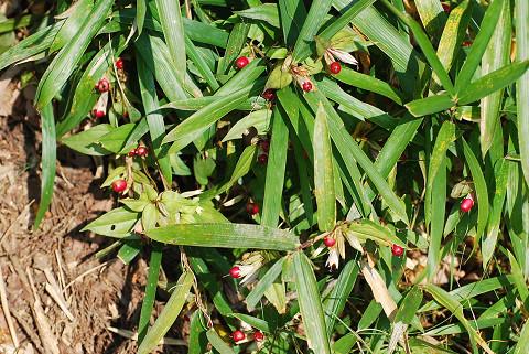 ツルリンドウに赤い実1