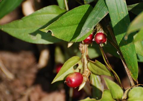 ツルリンドウに赤い実2