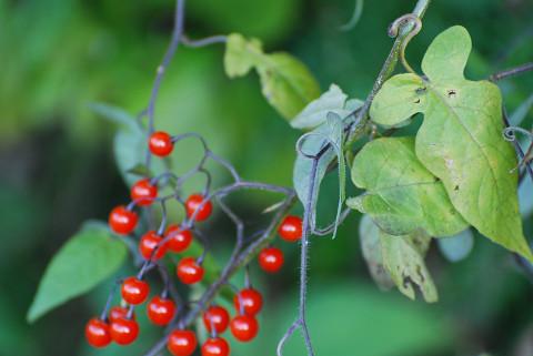 ヒヨドリジョウゴに赤い実が