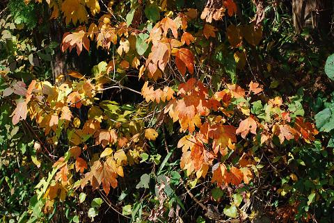 シロモジの黄葉は