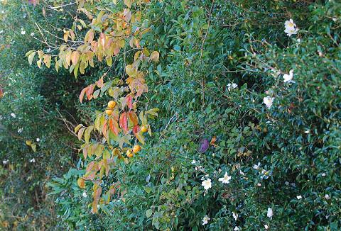 サザンカと柿の垣根