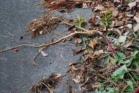 ヨウシュヤマゴボウの根が