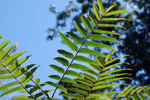 カラスザンショウの葉は