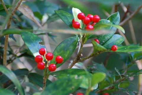 ミヤマシキミの赤い実が