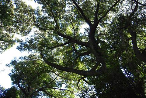 吉祥天女碑近くの巨木が