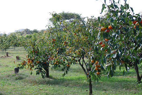 広大な柿畑