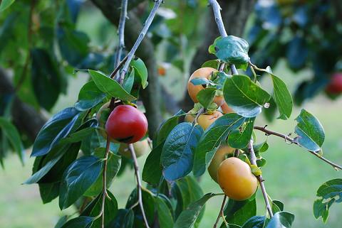 真っ赤な柿が