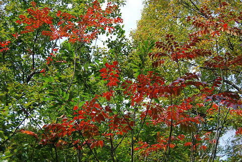 紅葉がきれいヤマウルシ