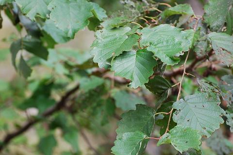 ケヤマハンノキの葉は