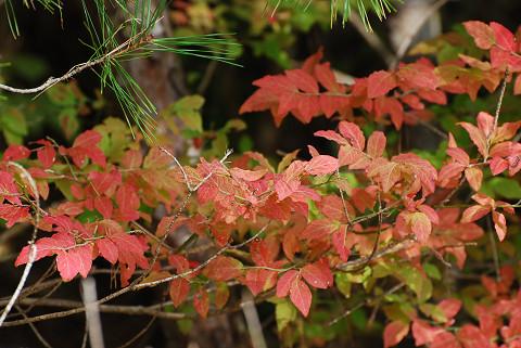 スノキの紅葉がきれい