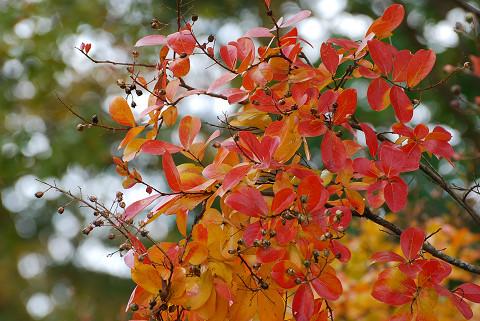 サルスベリの紅葉きれい