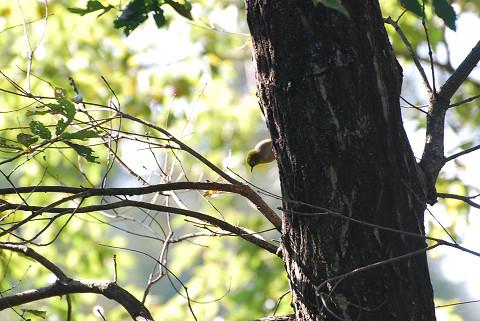 メジロが木陰に