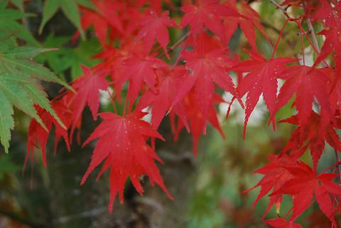 イロハモミジ紅葉が鮮やか