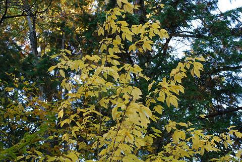 タカノツメの黄葉が