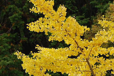 イチョウの黄葉が