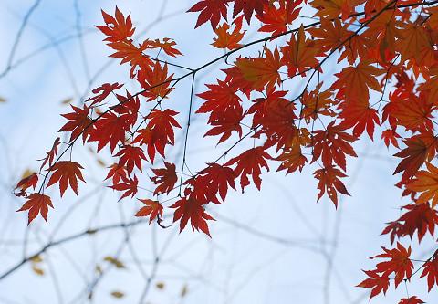 イロハモミジの紅葉が