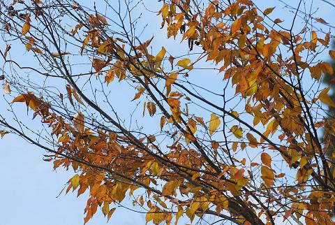 庭のアカシデ黄葉