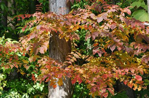 裏山のヤマウルシ紅葉