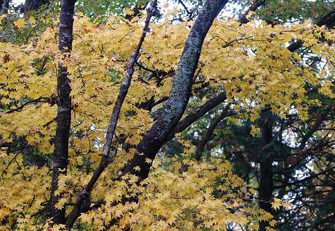 イロハモミジの黄葉は