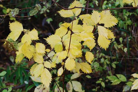 コアジサイの黄葉は