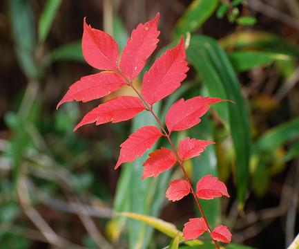 紅葉したヤマウルシの葉