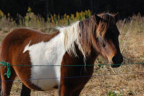 ポニーの母馬