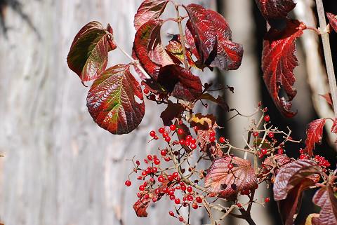 ガマズミの紅葉と赤い実