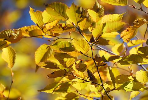 アカシデの黄葉がきれい