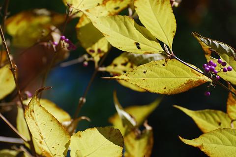 ムラサキシキブの黄葉と実