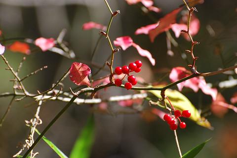 赤い実サルトリイバラ