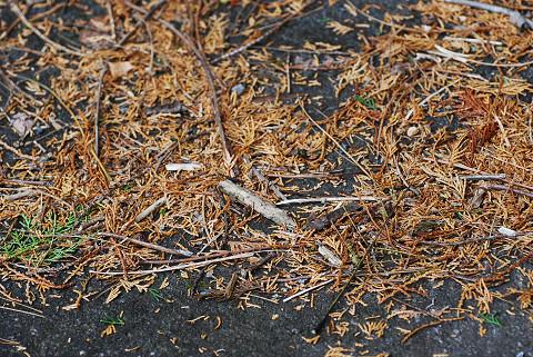 ヒノキの落ち葉が