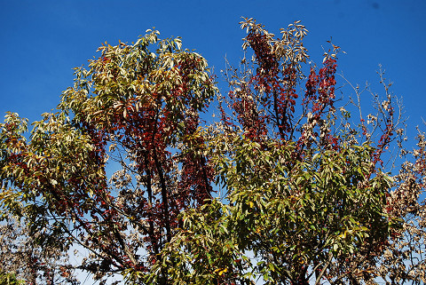 コナラに登ったツタ紅葉