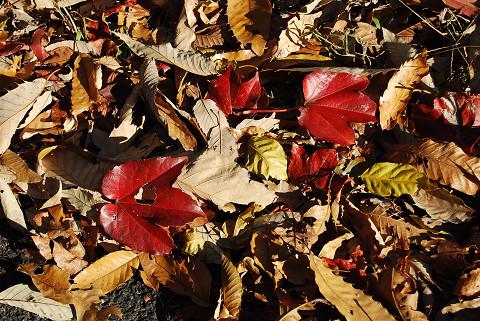 紅葉したツタの落ち葉が