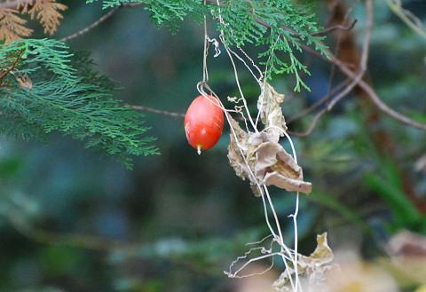 カラスウリの赤い実が