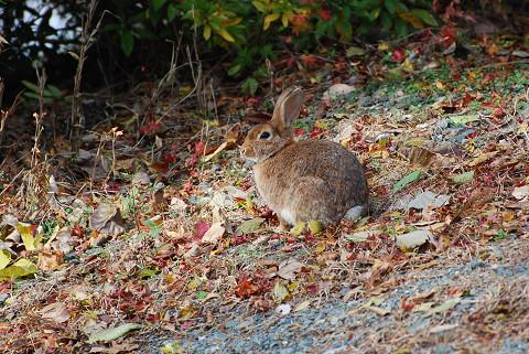 ノウサギに出会った