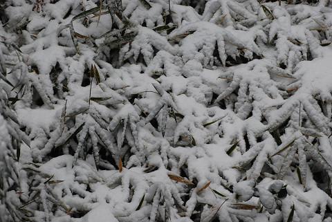 ササに積もった雪が