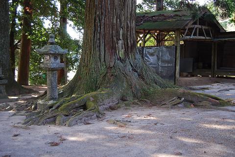 根を張ったスギ巨木