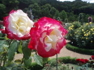 2色の薔薇