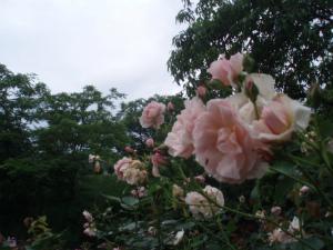 軽井沢の薔薇