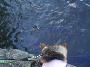 鯉さんに恋します