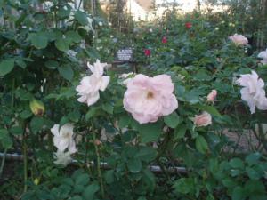 薔薇園があります。