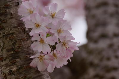 小山桜祭り2