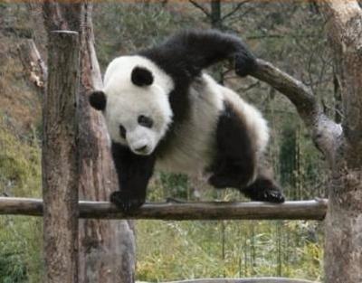 panda4-1ocy6zw.jpg