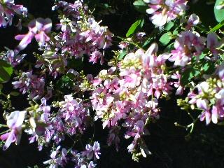 萩の花-1