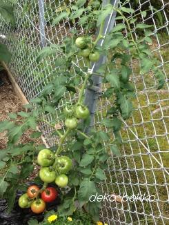 トマト成長中 2013
