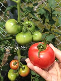 2013 トマト初収穫