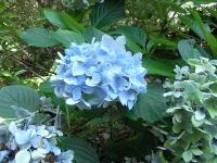 紫陽花もきれい~