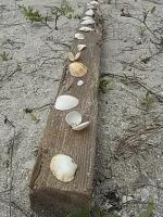 芽キャベツが拾った貝