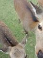 鹿におソワレ中
