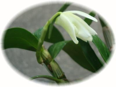 高芽が花に